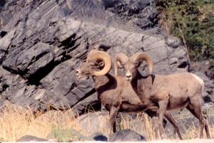 rocky-mountain-bighorn-sheep-in-hells-canyon